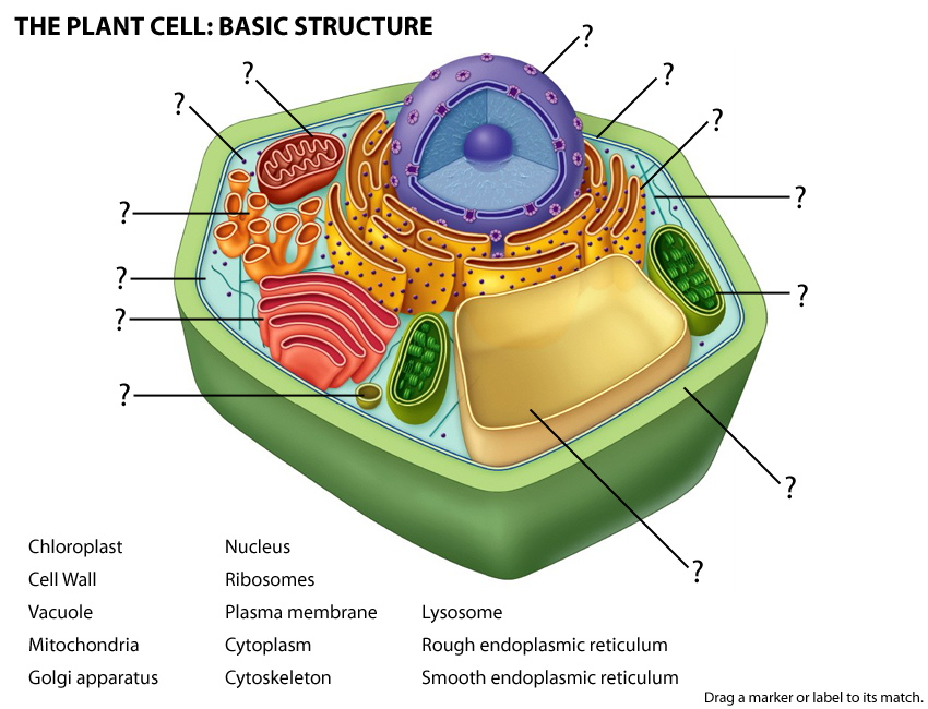 Exercise 4 activity 1 plant activity 1 cell structure and functional parts plant ccuart Images